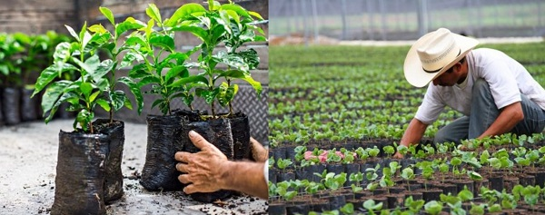 Starbucks raises one million coffee trees for farmers in one month