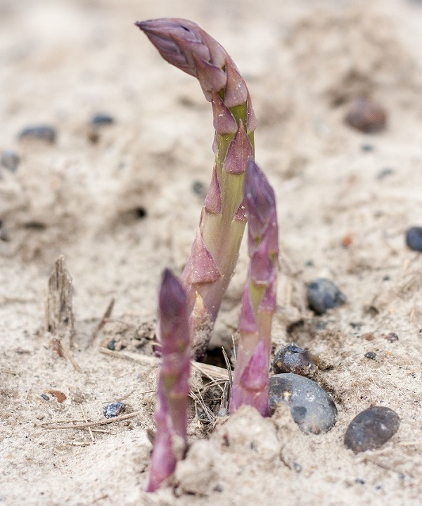 BaxterStorey puts wonky asparagus to the top of the menu