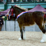 Robinsons shire horse leaps to success winning national championship